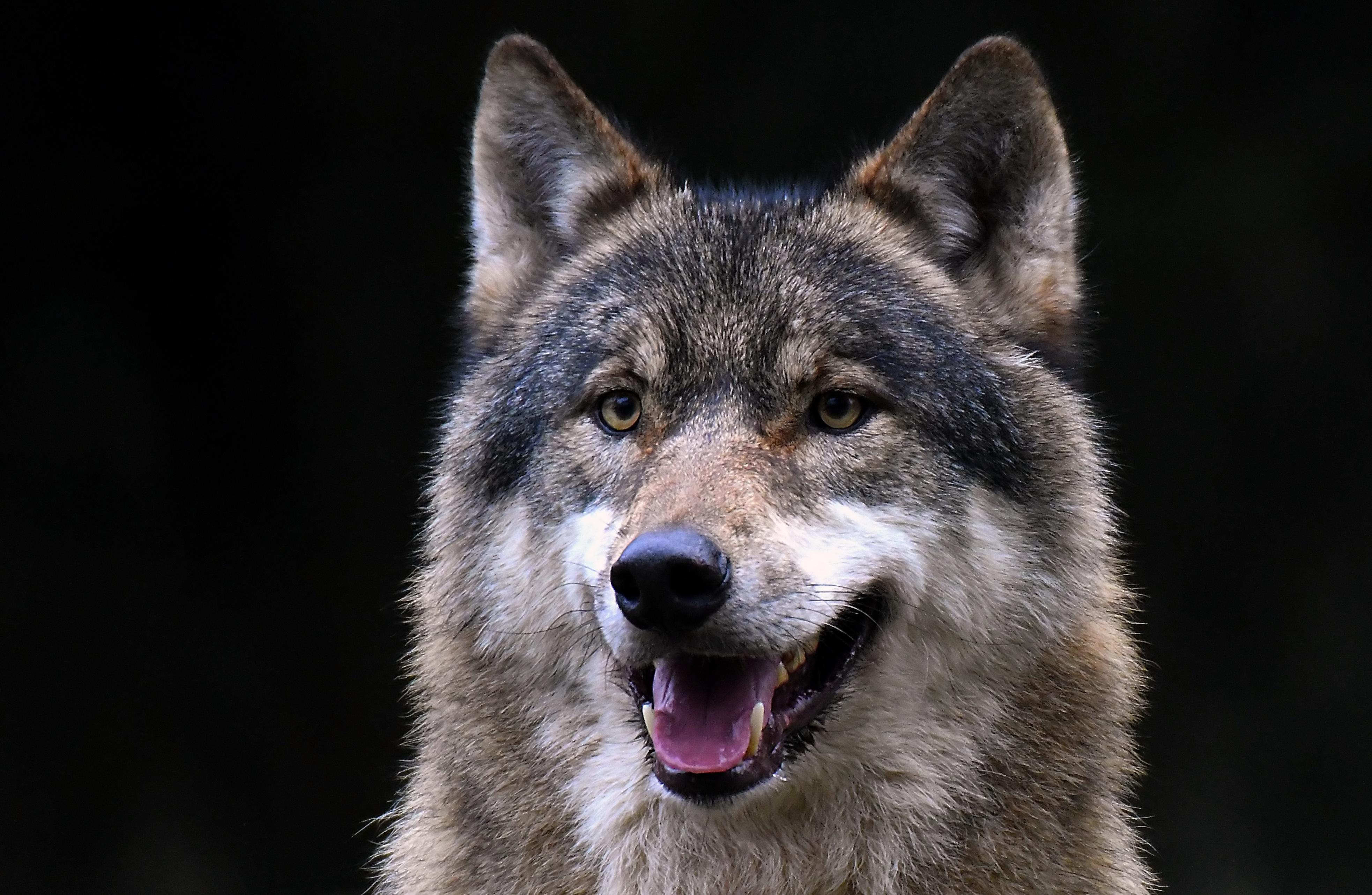 картинки на рабочий стол оскал волка первый