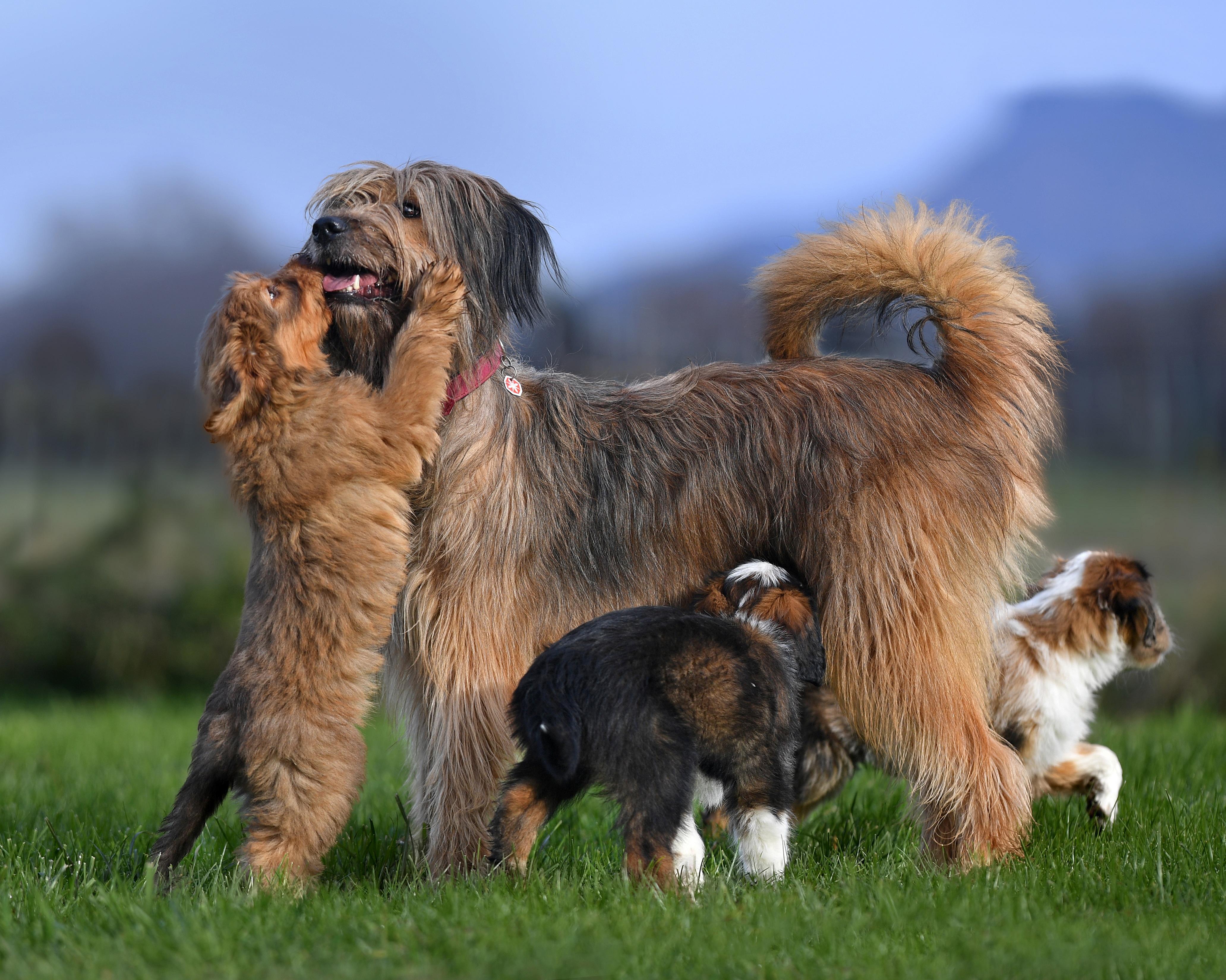 щенки собаки породы веллер