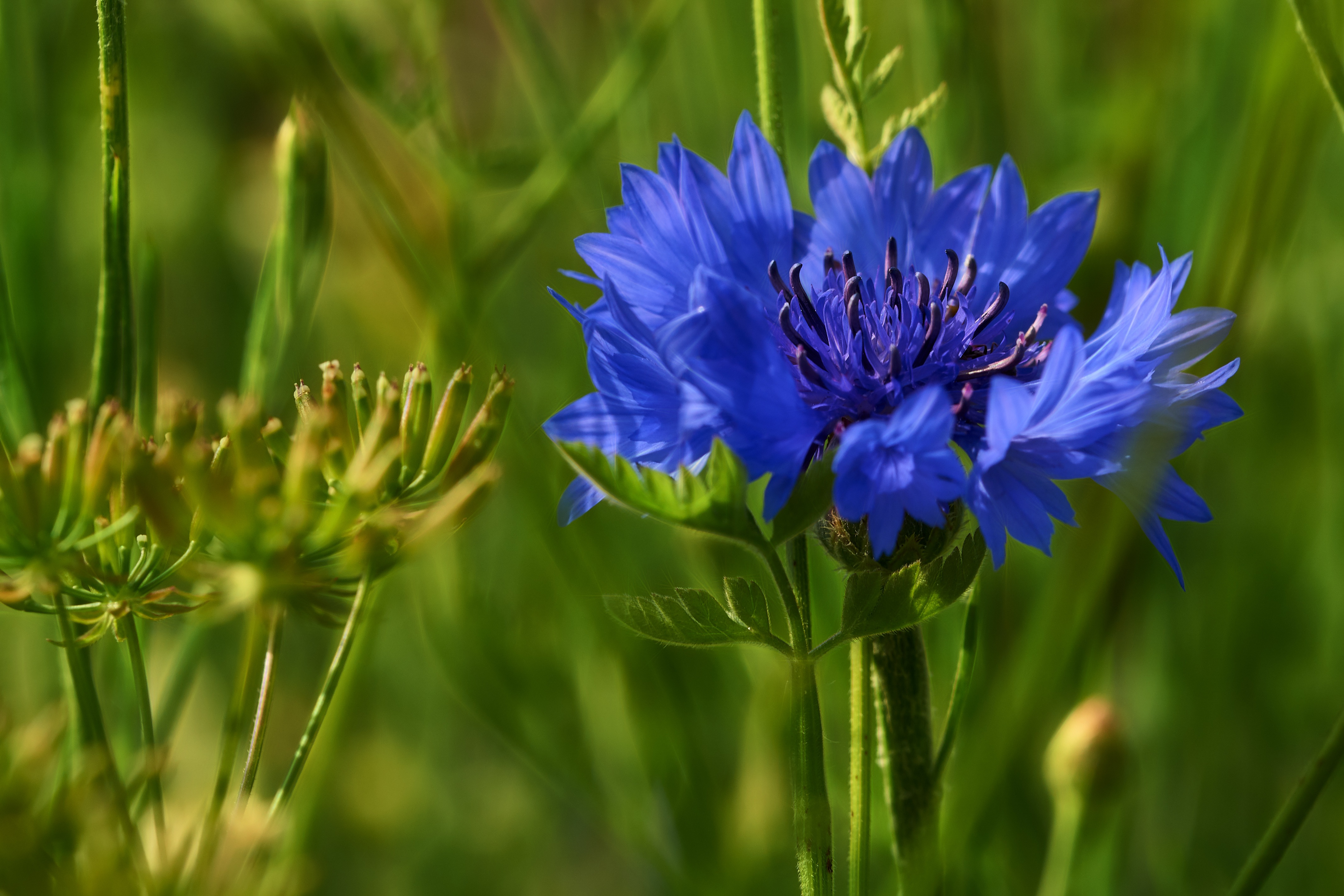 фото полевые цветы васильки