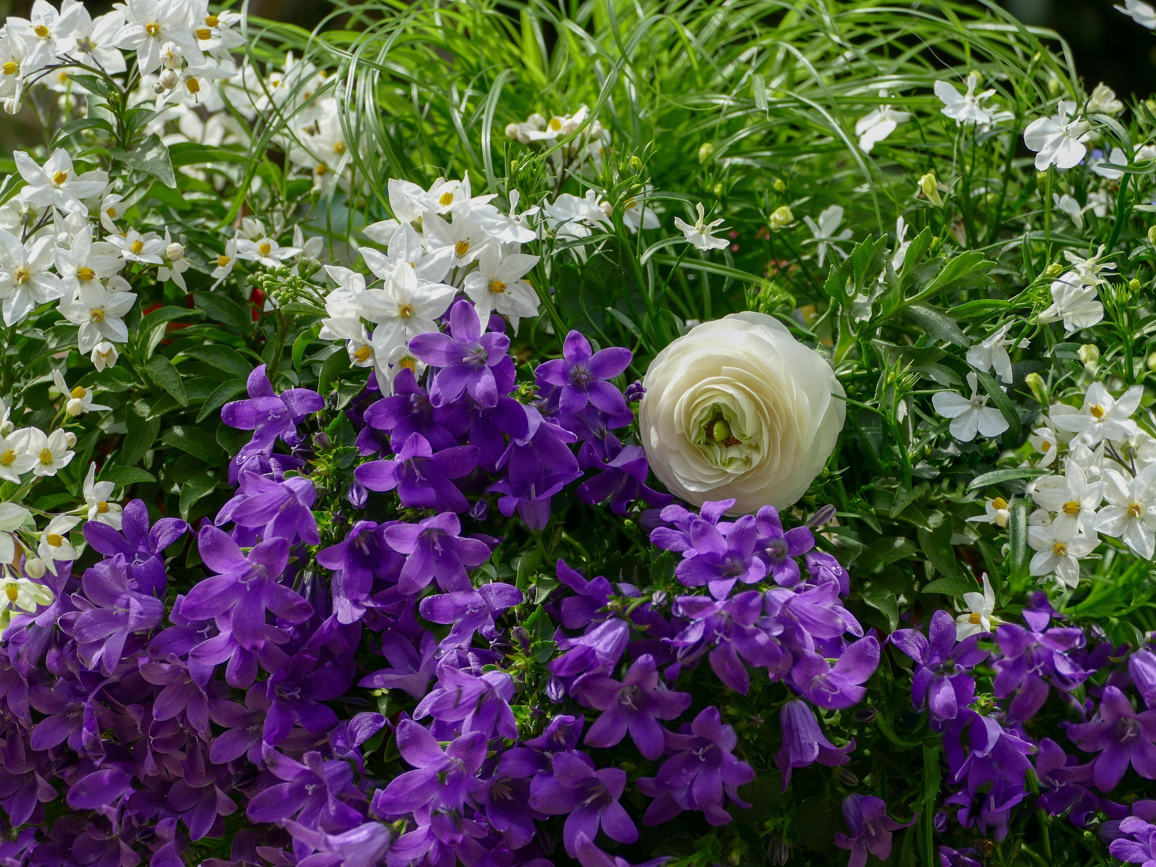 колокольчики фото цветов в саду еще