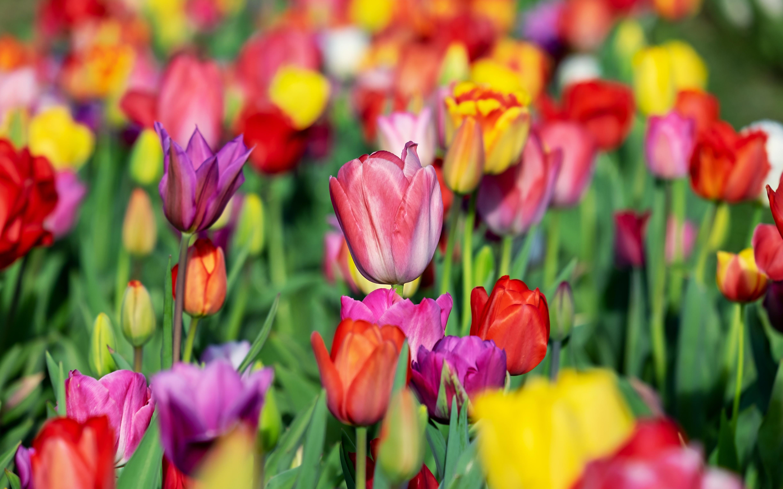 Разноцветные тюльпаны – к признанию и известности.