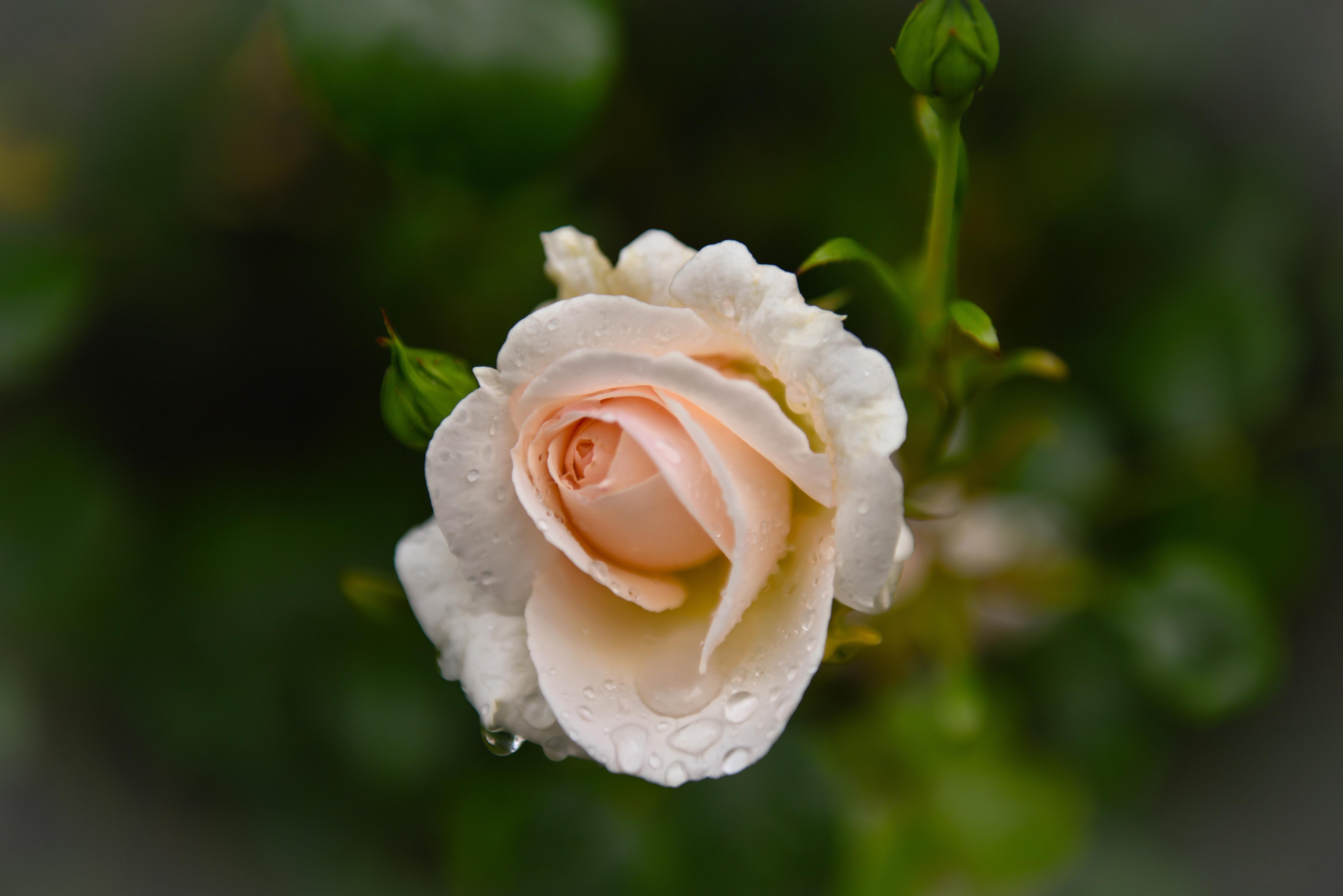 розы,капли,бутоны,зелень  № 759606 загрузить