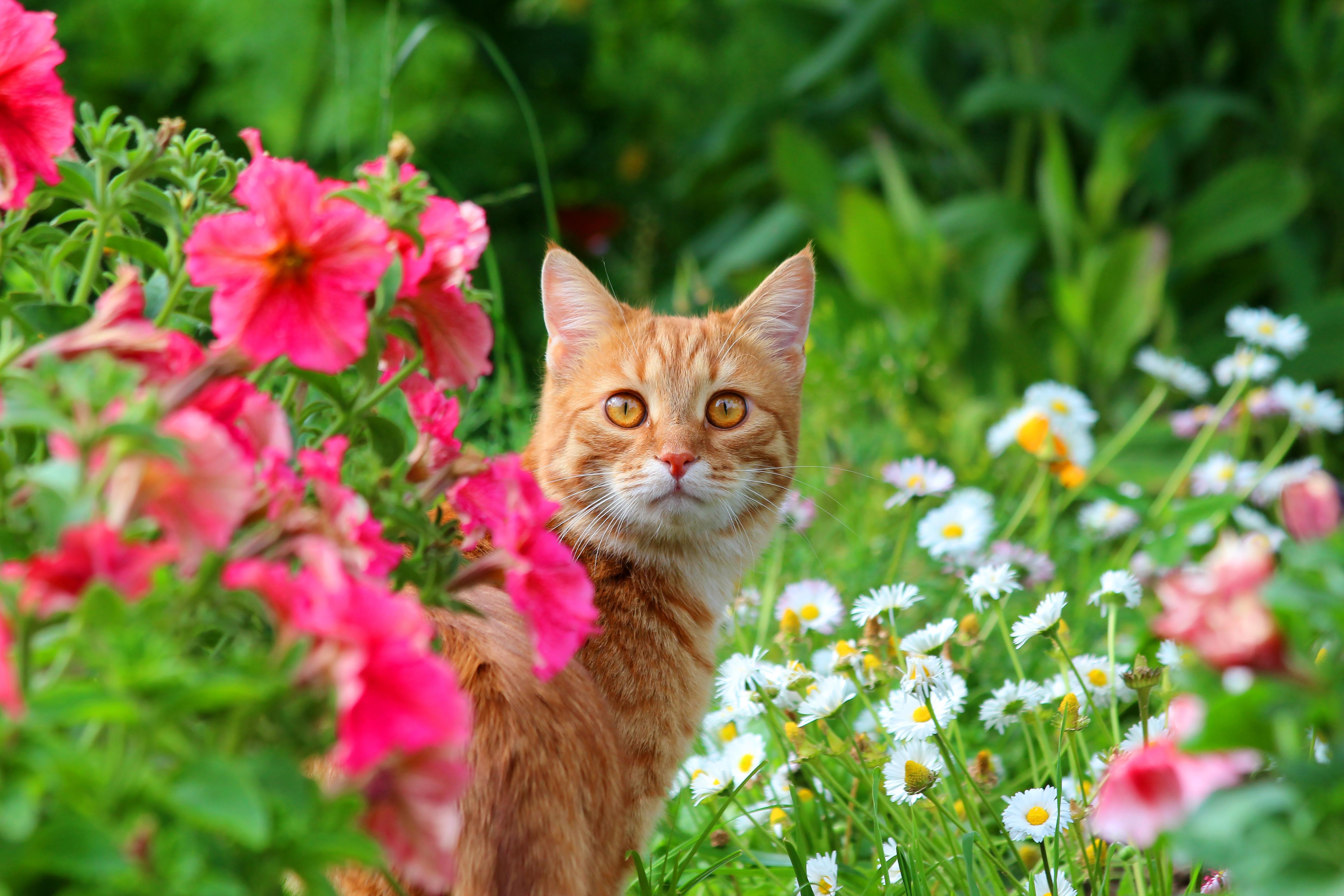 природа животные рыжий кот  № 941000 без смс