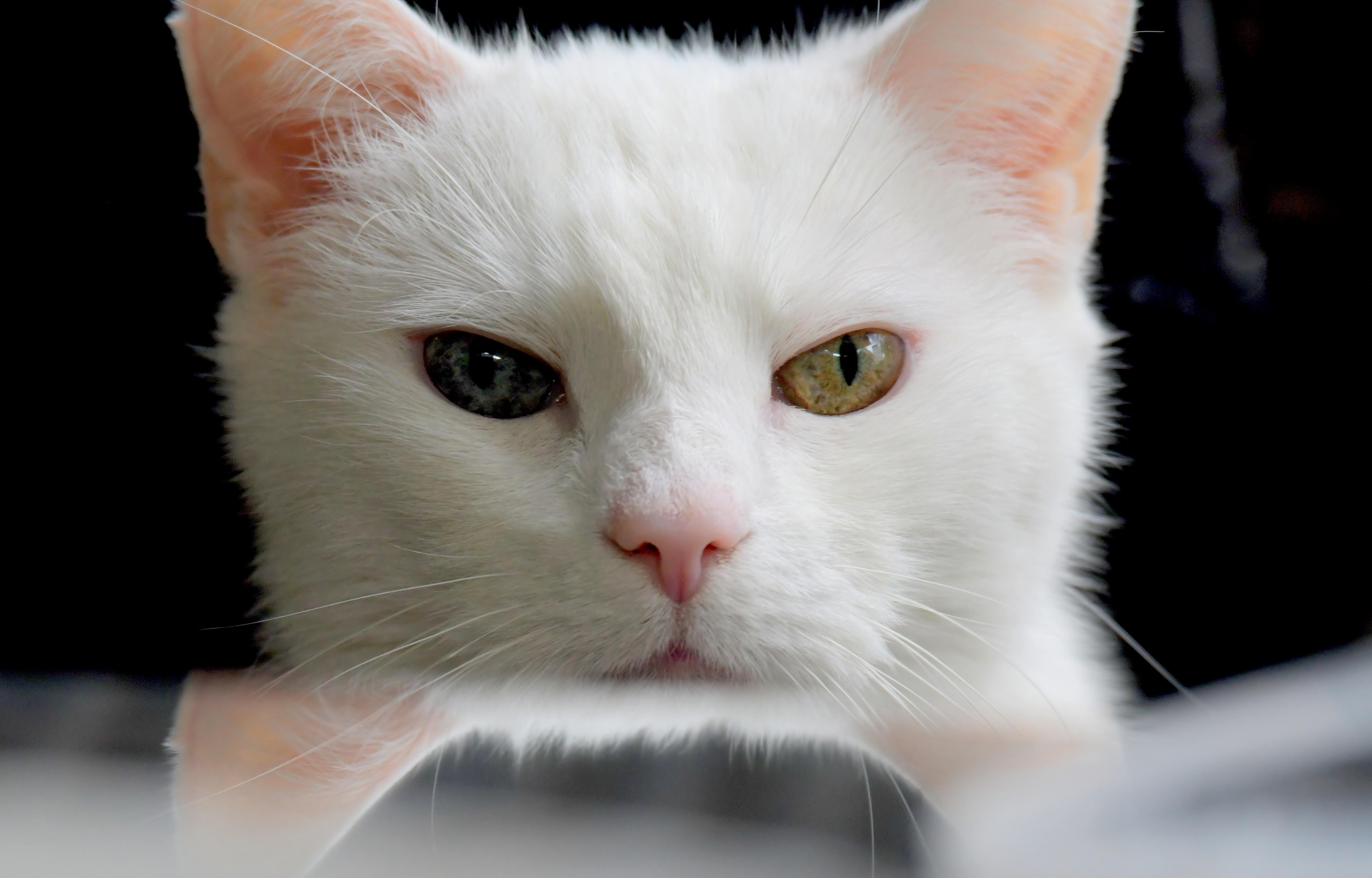 Белый кот разные глаза  № 2956433 бесплатно
