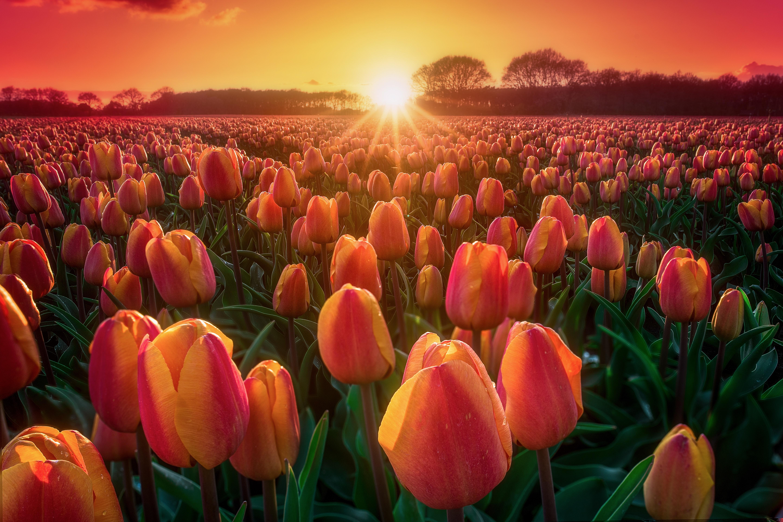 тюльпаны поляна закат  № 3285838 без смс