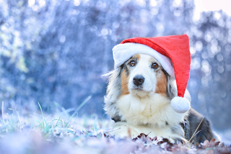 собачка в новогодней шапочке  № 1301934 без смс