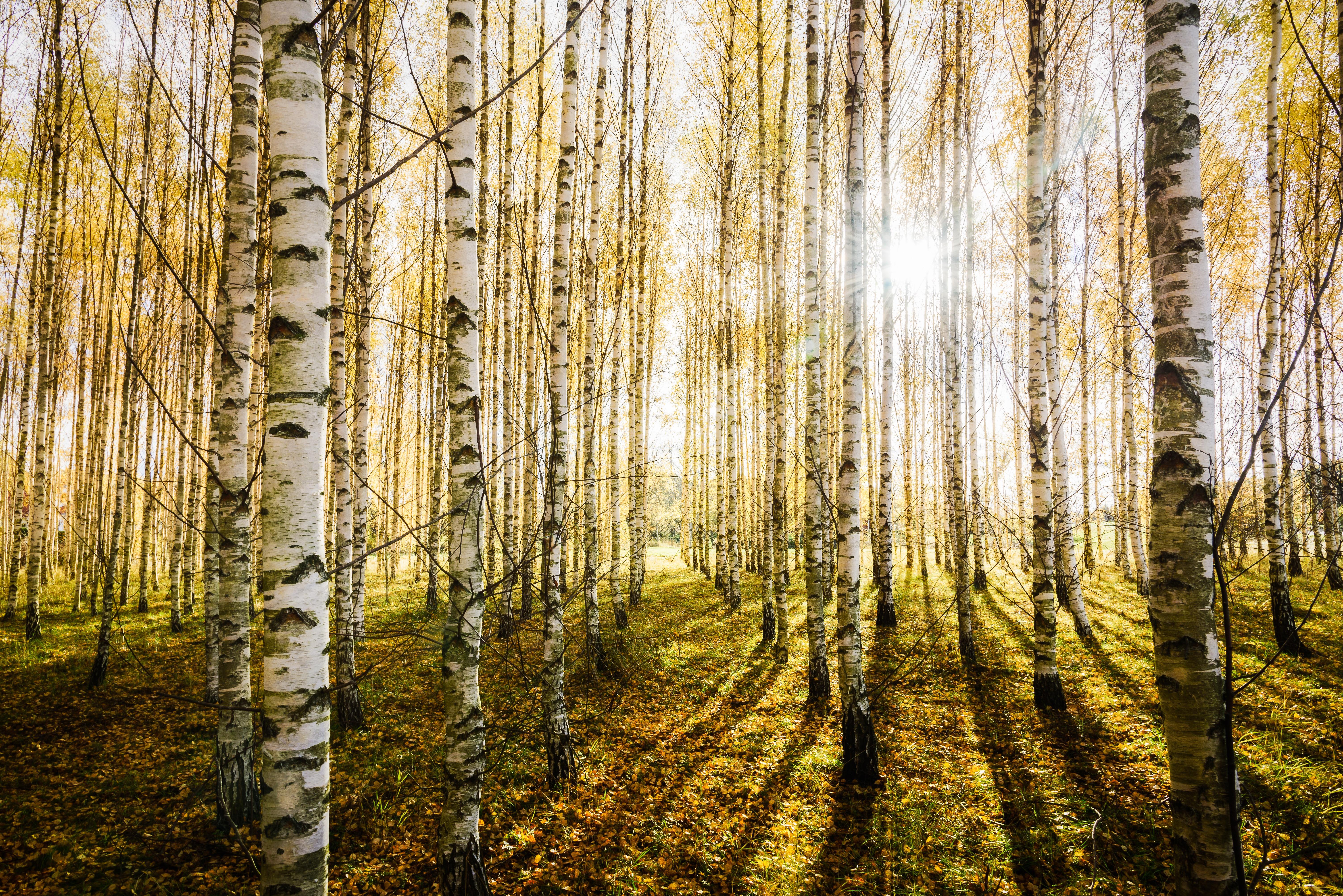 природа березы трава деревья закат nature birch grass trees sunset  № 1278519  скачать