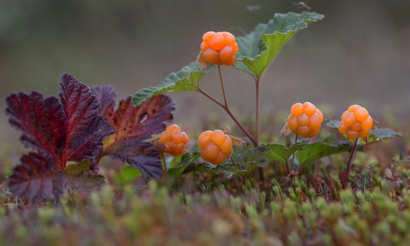 или картинка ягод морошки своем отзыве постараюсь