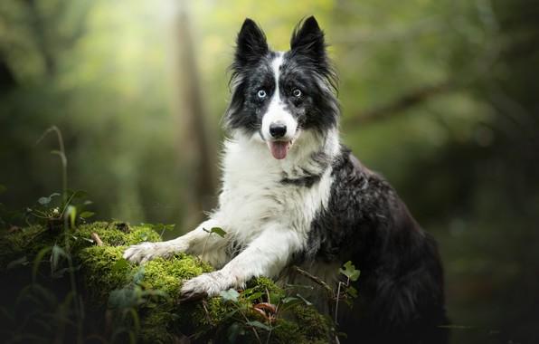 Картинка взгляд, мох, портрет, собака, боке, Бордер-колли