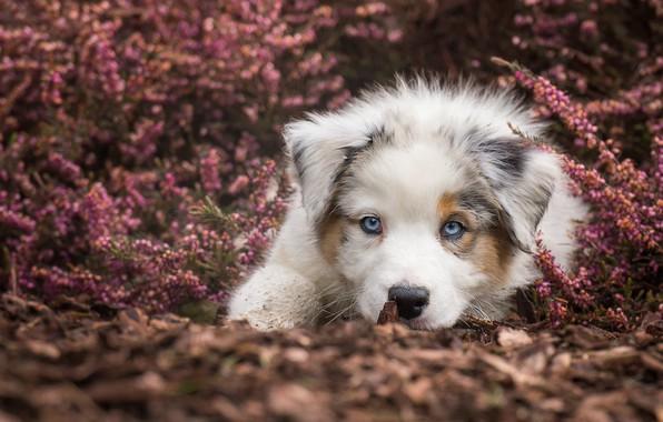 Картинка взгляд, собака, щенок, голубые глаза, мордашка, пёсик, Австралийская овчарка, вереск
