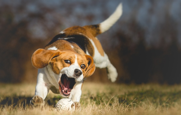 Картинка природа, собака, боке, бигль, wallpaper., beagle, beautiful background, прогулка парк, английская гончая, трава игра, активный …