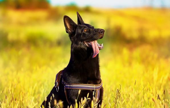 Картинка взгляд, друг, собака, немецкая овчарка