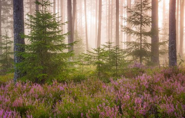 Картинка лес, свет, цветы, природа, елки