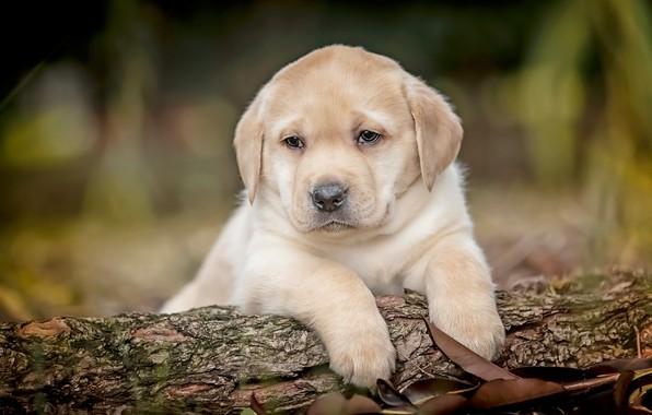 Картинка собаки, щенки, малыши, парочка, шоколадный, боке, Лабрадор-ретривер