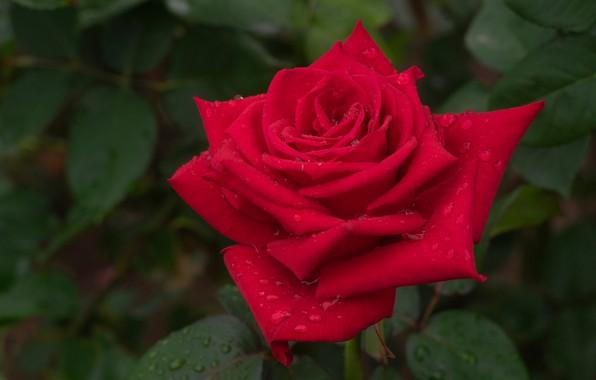 Картинка листья, капли, макро, роза, лепестки, бутон, красная роза