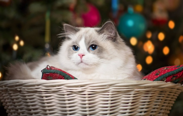 Картинка кошка, корзина, красавица, голубые глаза, Рэгдолл