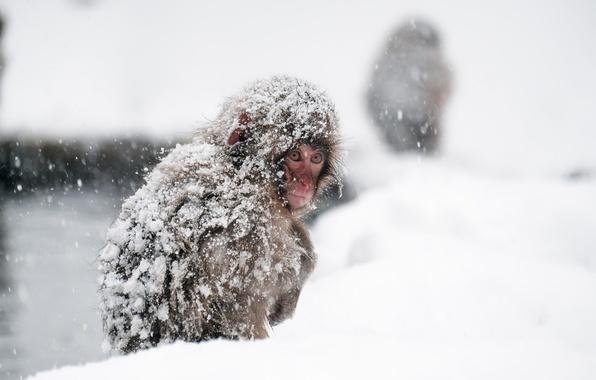 Картинка обезьяна, Japan, Nagano Prefecture, Yamanouchi-machi