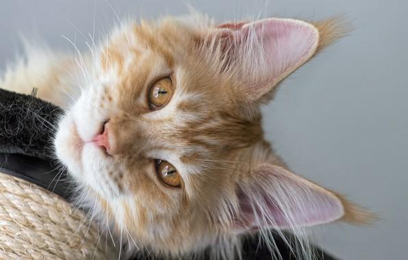 Картинка кот, взгляд, рыжий, мордочка, Мейн-кун