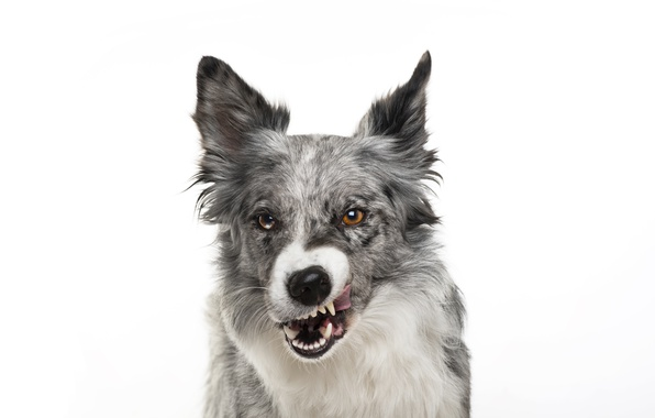 Картинка собака, мордочка, оскал, белый фон, ухмылка, пёс