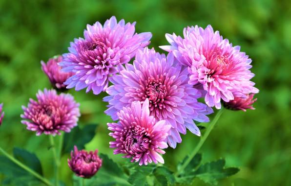 Картинка Цветы, Осень, Хризантемы
