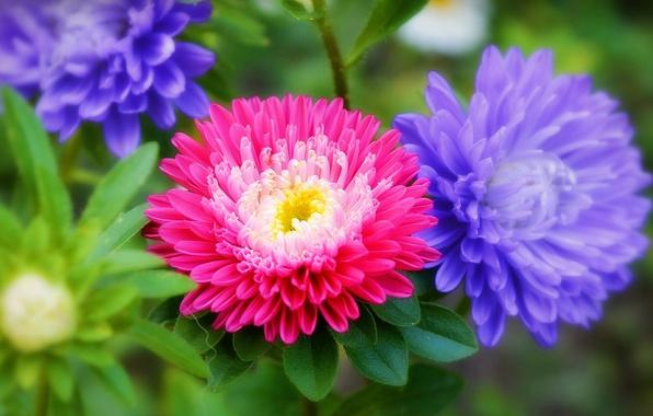 Картинка Цветы, Flowers, Colors, астры, Asters