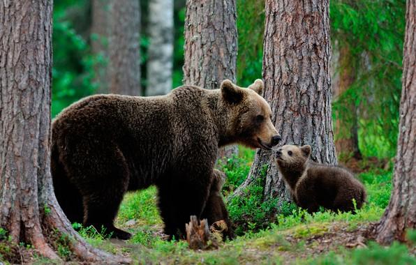 Картинка зелень, лес, трава, деревья, природа, медведи, медвежата, боке, медведица, бурые, три медведя
