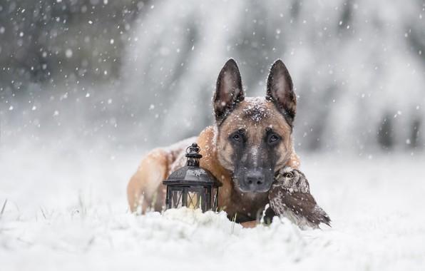 Фото обои друзья, фонарь, дружба, птица, бельгийская овчарка, природа, зима, сова, снегопад, снег, собака, животные, портрет