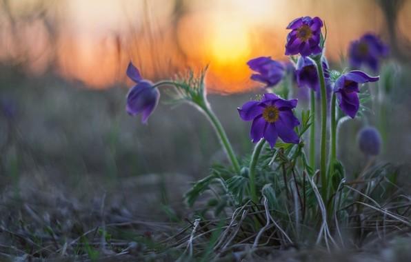Картинка закат, весна, боке, Сон-трава, Прострел