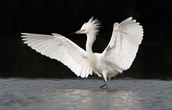 Картинка вода, птица, крылья, белая, цапля