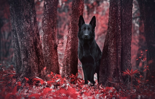 Картинка лес, красный, листва, собака, чёрная, red, forest, black, стволы деревьев, dog, пёс, овчарка, немецкая, foliage, ...