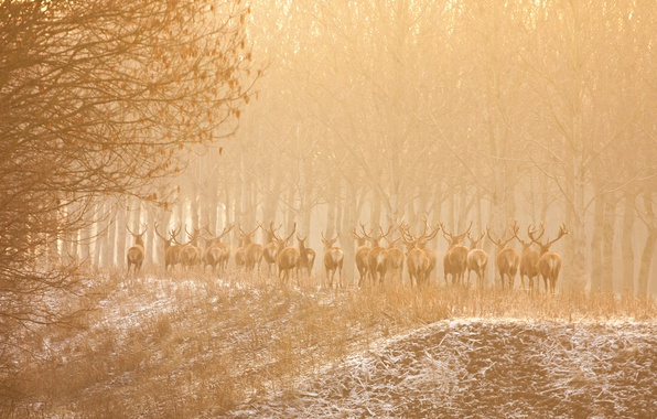 Картинка природа, туман, олени