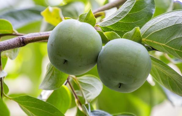 Картинка дерево, яблоки, Природа, плоды, веточки