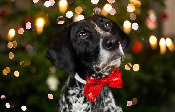 Картинка глаза, взгляд, морда, крупный план, красный, фон, праздник, новый год, портрет, собака, размытие, огоньки, бантик, …