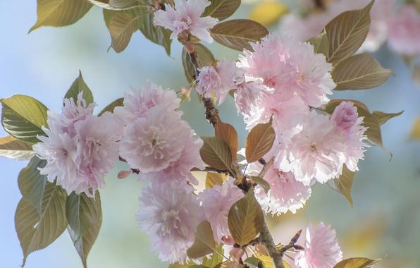 Картинка листья, ветка, весна, лепестки, сад, сакура, цветение