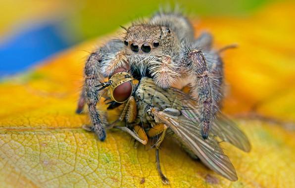 Картинка макро, желтый, муха, фон, паук, хищник, листик, насекомое, джампер, трапеза, прыгунчик