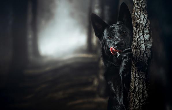 Картинка язык, дерево, собака, боке, Немецкая овчарка
