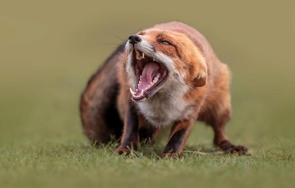 Картинка трава, природа, животное, пасть, лиса, лисица