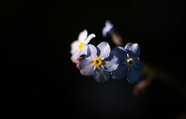 Картинка природа, фон, лепестки, незабудки, соцветие