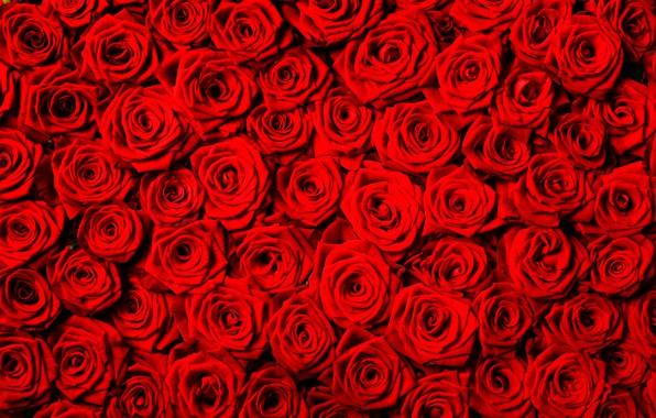 Картинка цветы, фон, розы, текстура, красные