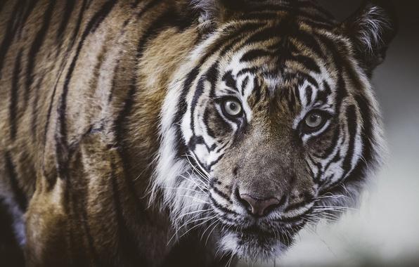 Картинка взгляд, морда, тигр, портрет, дикая кошка