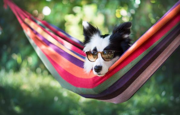 Картинка морда, собака, очки, гамак, боке, Бордер-колли