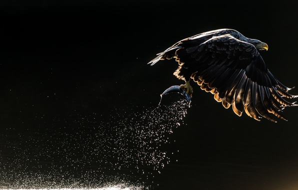 Картинка брызги, птица, рыба, орёл, орлан, тёмный фон, улов