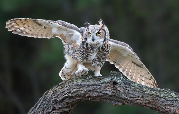 Картинка сова, птица, крылья, коряга, Виргинский филин