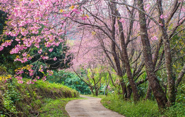 Картинка деревья, ветки, парк, весна, сакура, цветение, pink, blossom, park, tree, sakura, cherry, spring, bloom