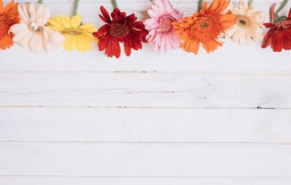 Картинка цветы, фон, герберы