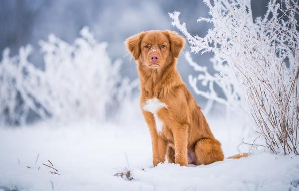 Картинка зима, иней, взгляд, снег, природа, фон, голубой, собака, светлый, рыжий, сугробы, щенок, серьезный, сидит, ретривер, ...