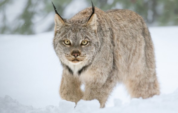 Картинка зима, взгляд, снег, дикая кошка, Рысь