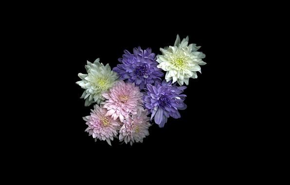 Картинка цветы, чёрный фон, хризантемы