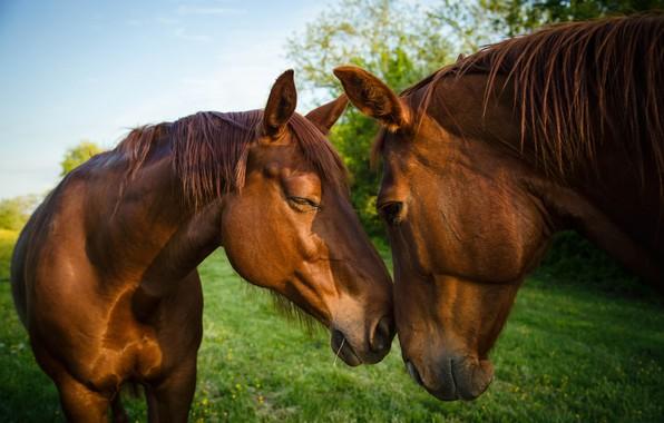 Картинка зелень, небо, трава, природа, фон, кони, лошади, дружба, пара, коричневые, два, морды, общение, гнедые, два ...