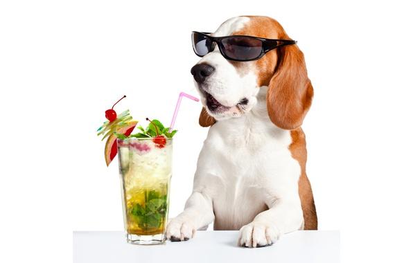 Фото обои морда, стакан, стол, юмор, лапы, очки, коктейль, белый фон, трубочка, напиток, Бассет хаунд